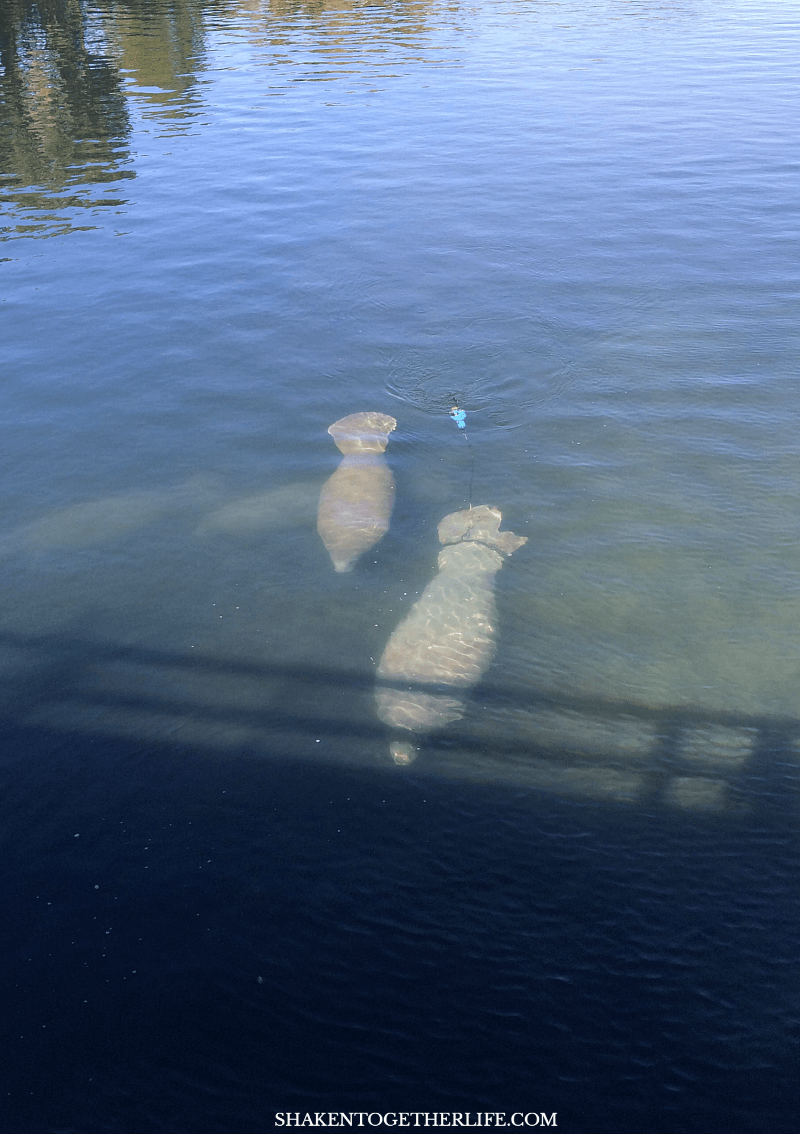Manatees are all over in the winter from December - March and this was one of our favorite activities in Crystal River, Florida!